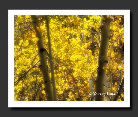 Euphoric Glowing Aspens in Lundy Canyon